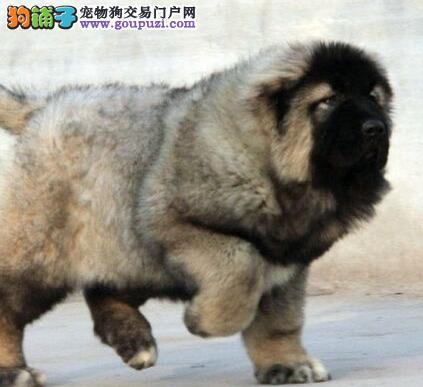 赛级品相高加索幼犬低价出售签正规合同请放心购买