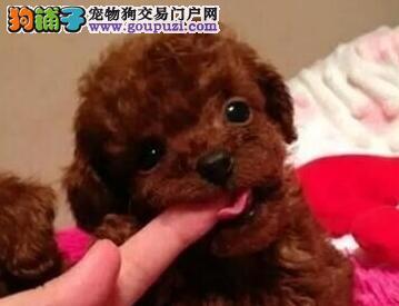 出售优秀苏州泰迪犬 纯种血统国外引进保证品质