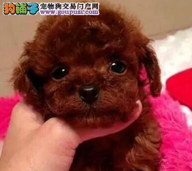 热销韩系血统长沙泰迪犬 可刷卡可视频可签订协议3