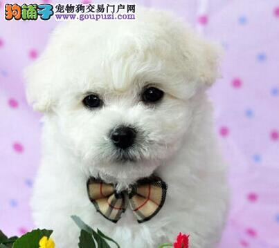 北京售纯种健康白色粉扑比熊幼犬疫苗驱虫做全