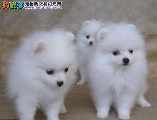 当场做检查 长春出售博美幼犬可见父母签协议质保