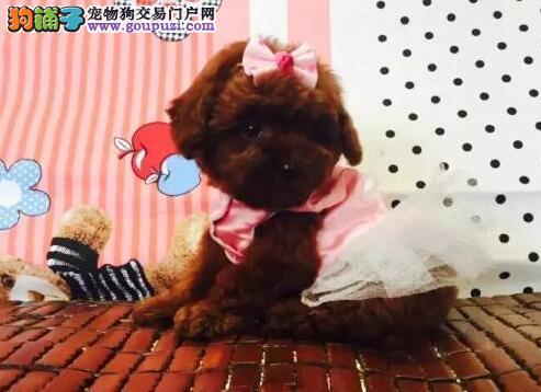 广州犬场直销纯种泰迪犬包品相包健康送泰迪犬狗粮等3