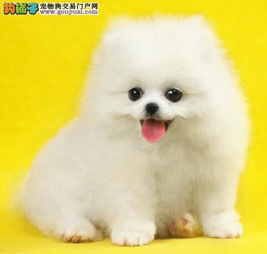 博美犬拥有光鲜亮丽的外表需要哪些步骤