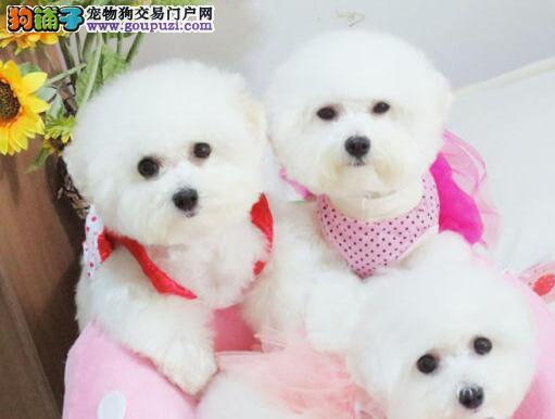 韩国引进大眼睛甜美脸型比熊幼犬阳泉售保健康质保终身