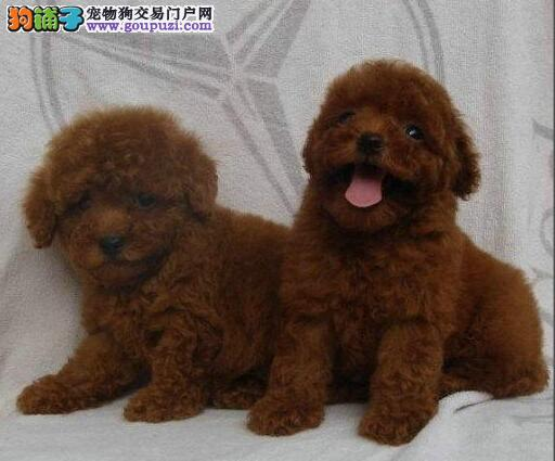 巴中家庭繁殖小体型玩具泰迪犬父母可以见到价钱可优惠