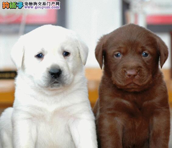 科学训练拉布拉多犬的前提——创建良好伙伴关系