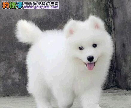 北京家养一窝纯种萨摩耶犬宝宝出售 品相好可看父母