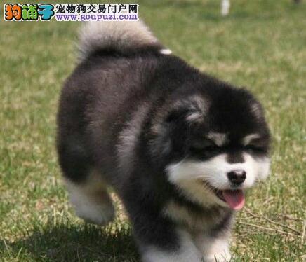 阿拉斯加雪橇犬 保纯种健康一个月 签订购买协议