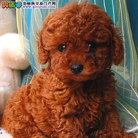 纯种红咖啡色泰迪犬巧克力色泰迪熊幼犬可上门选购