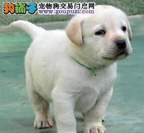 拉布拉多犬吃大便的危害及制止方法