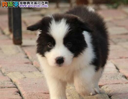 南京养殖中心出售边境牧羊犬幼犬 多只供君选购