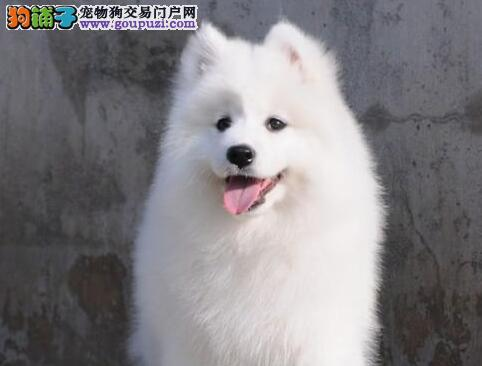 重庆犬舍出售萨摩耶犬幼犬 品质保证 生病可退换