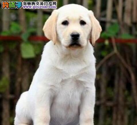 怎样科学合理饲养拉布拉多犬种犬