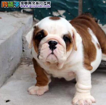 出售纯种健康的郑州英国斗牛犬幼犬看父母照片喜欢加微信