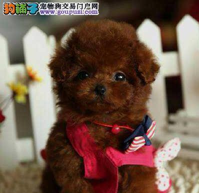 武汉售高品质泰迪幼犬 卷毛贵妇犬疫苗驱虫已做可视频