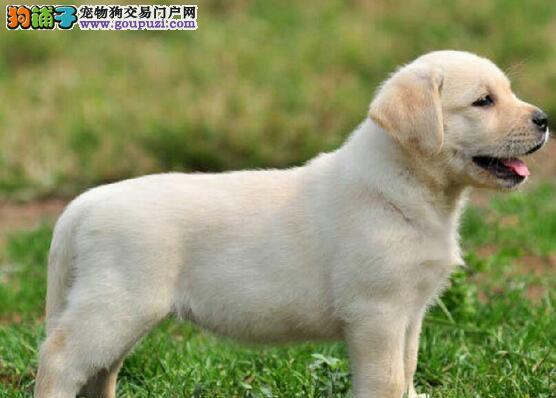 如何加强拉布拉多犬孕犬的饲养管理