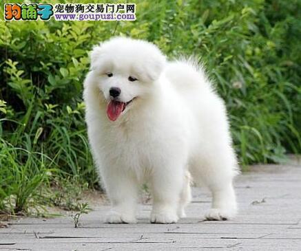 澳版熊版纯白萨摩耶 上海微笑天使萨摩耶雪橇犬出售