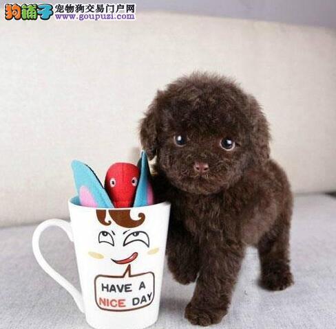 沈阳正规犬舍热销顶级优秀纯种泰迪犬品种齐全保品质1