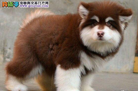福州出售阿拉斯加雪橇犬签订正式协议当面协议