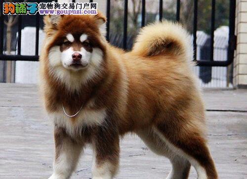武汉市出售阿拉斯加犬 公母都有 可视频看狗 售后保障
