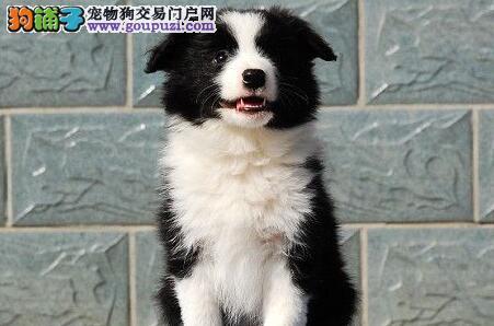 边境牧羊犬 纯种边境幼犬 家养边境幼犬