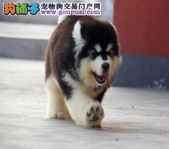 肇庆市出售阿拉斯加犬 全国包邮 质保三年 包半年健康