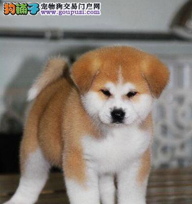 美系秋田犬 可爱宝宝平价出售 保血统品质和健康