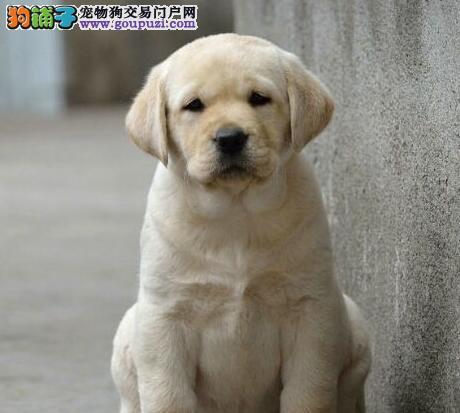 金华冠军级拉登血系拉布拉多幼犬出售可签协议包退换