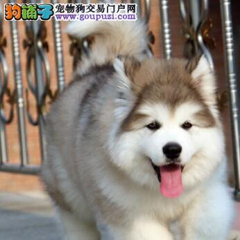 阿拉斯加犬 熊版大阿 成都出售 终身保障
