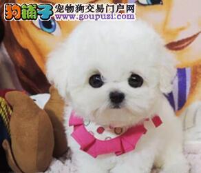雅安市出售比熊犬幼犬 可视频看狗 终身质保 质量三包
