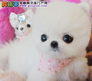 北京西城哈多利球体博美犬买狗可签协议保健康纯种
