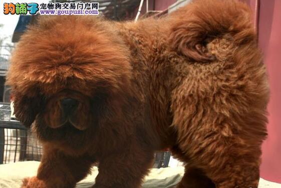 精品狮头藏獒幼犬,保纯种健康,欢迎上门来选购发布