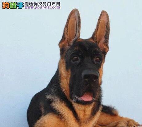 北京出售德国牧羊犬幼犬可上门看狗保纯种保健康