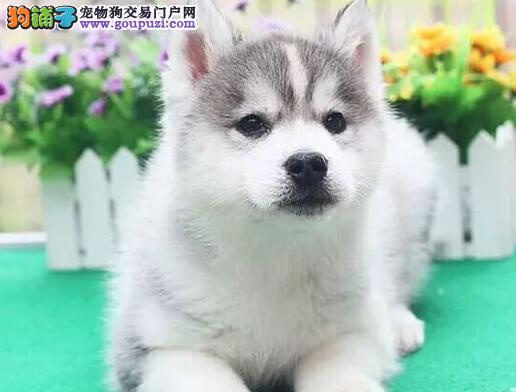漂亮的哈士奇幼犬宝宝绝对三把火