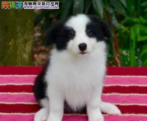 出售纯种边境牧羊犬,专业繁殖宝宝健康,提供养狗指导