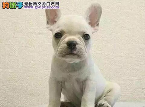 实体店出售精品法国斗牛犬保健康血统证书芯片齐全