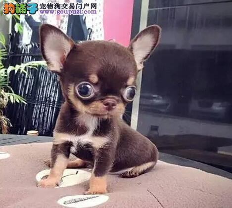 售金鱼眼苹果头品相超好的绍兴吉娃娃 可随时视频看狗