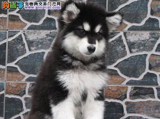 北京繁殖基地出售多种颜色的阿拉斯加犬保障品质一流专业售后