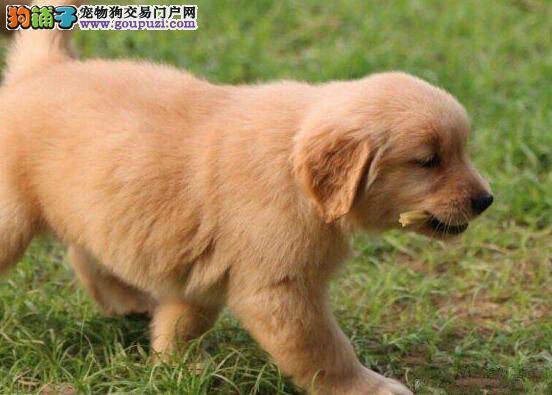 纯种大头金毛犬幼犬出售现在3个多月公母都有终身质保