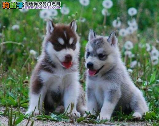 南京正规犬舍低价出售超高品质的哈士奇 多只幼犬供选1