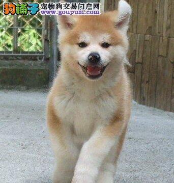 出售极品秋田犬 血统纯品相好健康有保证可上门挑选的