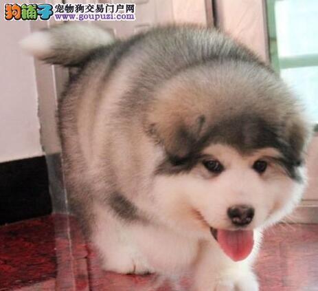 火爆出售大骨架深圳阿拉斯加雪橇犬 可办理证书有合同