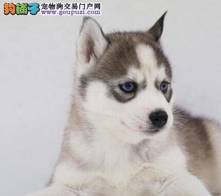 长沙自家繁殖哈士奇雪橇犬 可微信看狗 签订协议有保障1
