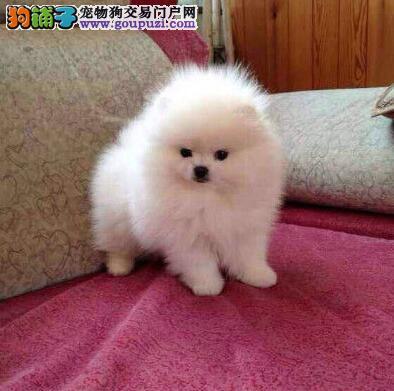 云南玉溪那里买博美,玉溪狗场出售纯种博美幼犬。