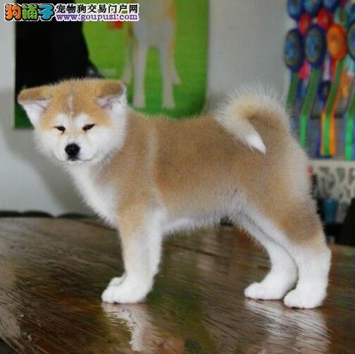 专业繁殖日本秋田犬幼犬,赛级品质,质量保障。