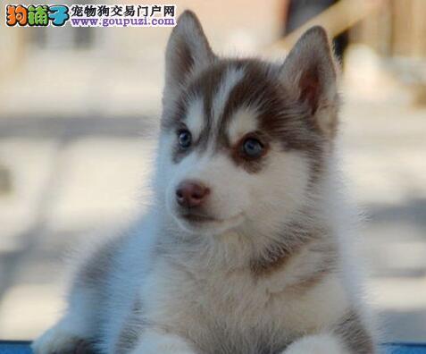 自家犬舍直销宁波哈士奇 纯种三把火双蓝眼欢迎购买