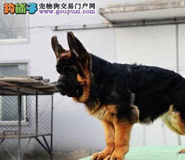 csv认证的国际权威犬业出售精品顶级德牧可预订幼犬