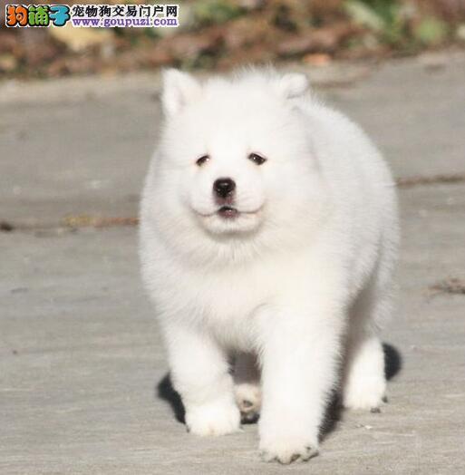 广州精品萨摩耶幼犬证书齐全血统纯正签协议送用品