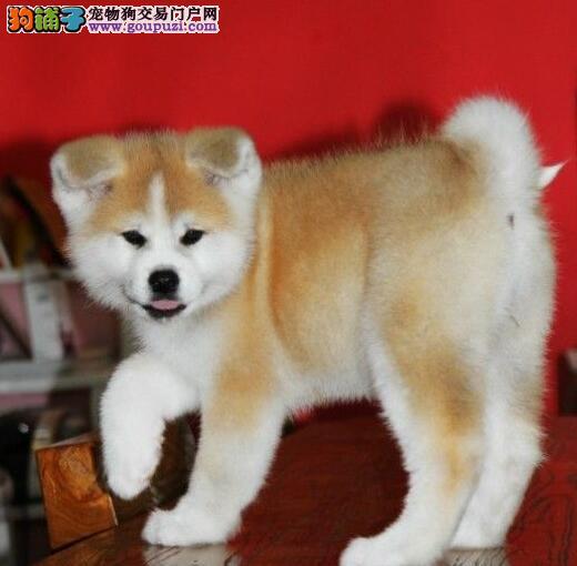 顶级秋田犬宝宝、纯度好100%健康、诚信经营保障图片