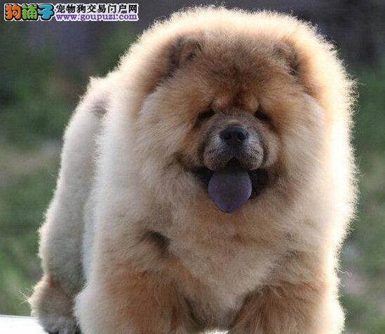 基地直销好品质杭州松狮犬售后保障全面签合同1